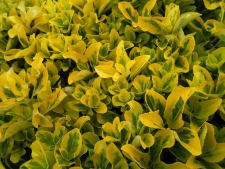amarillo con manchas verdes